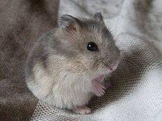Just Pinned to Hamsters: Dsungarischer Zwerghamster http://ift.tt/2qBCqzf