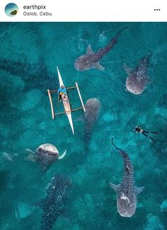 Whale sharks photo by @karanikolov