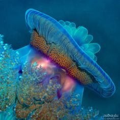Berenice jellyfish in the Red Sea, Egypt. Jellyfish colors amaze me! Underwater Creatures, Underwater Life, Ocean Creatures, Under The Ocean, Sea And Ocean, Beautiful Sea Creatures, Animals Beautiful, Beautiful Ocean, Stunningly Beautiful