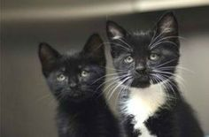 Mysterious owners dropping off 100 'Tuxedo' cats at night at Marin shelter