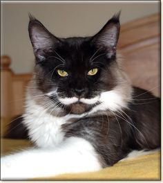 black maine coon | QUIN -- Black Smoke Maine Coon Cat - photo ...