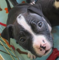 3 / 15     Petango.com – Meet Daisy, a 1 month 29 days Terrier, American Pit Bull / Mix available for adoption in Fond Du Lac, WI Contact Information Address  652 Triangle Road, Fond Du Lac, WI, 54935  Phone  (920) 922-8873  Website  http://www.fdlhumane.org  Email  petcare@fdlhumane.org