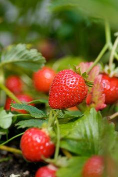 How to grow strawberries indoors! It's strawberry shortcake season, which means strawberry harvesting season. But for those of you with no outdoor space for gardens, fear not—you can plant, weed, and harvest all from the comfort of your own home. From Fresh Food from Small Spaces by R. J. Ruppenthal