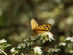 outdoormagic:  Butterfly by Anna Calvert Photography on Flickr.