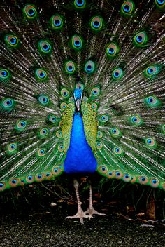 """The male Indian (Blue) Peacock tail (20 feathers) is dark brown & the """"train"""" is made up of elongated upper tail coverts (more than 200 feathers) and nearly all of these feathers end with an elaborate eye-spot. A few of the outer feathers lack the spot and end in a crescent shaped black tip. The underside is dark glossy green shading into blackish under the tail. The thighs are buff colored. The male has a spur on the leg above the hind toe."""