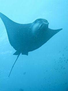 Galapagos Islands: stingray