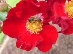 Flower Carpet Red with Bee | by tesselaarusa