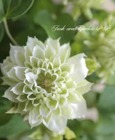 Clematis 'Duchess of Edinburgh' Green Flowers, White Flowers, Beautiful Flowers, Beautiful Gardens, Strawberry Hanging Basket, Green Terrace, White Gardens, Garden Planning, Trees To Plant