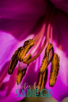 Fine art close up of a flower fine art photograph, ideal for decorating the walls of your home or workspace. With rich pink tones offset with golden yellows Color Pop, Colour, Pink Tone, Photographic Prints, Sadie, Gd, Bright Pink, Close Up, Backdrops