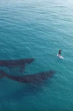 Rare Whale Duo Gets Friendly ~ With A Lucky Paddle-Boarder!