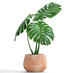 monstera model – My CMS Plant Painting, Plant Art, Plant Decor, Tableau Design, Plant Wallpaper, Plant Illustration, Botanical Illustration, Indoor Plants, Ikea Plants