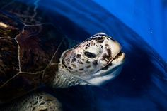 """Recently an endangered green sea turtle who was given a name Omsin, which means """"bank"""" or """"piggy bank"""" in Thai because of her coin eating habits and had eaten."""