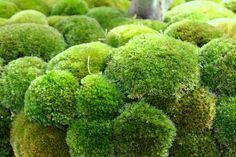 This is a listing for a ONE GALLON BAG of live, assorted moss. If you buy moss elsewhere, its extremely expensive. Its also very difficult to Moss Garden, Big Garden, Water Garden, Garden Plants, Shade Garden, Diy Terrarium Kit, Moss Terrarium, Little Gardens, Back Gardens
