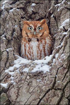 Eastern Screech Owl (Photo byMatthew Studebaker)