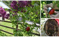 Cutting Globe – ирландское ноу-хау в воздушном черенковании  Мини-тепличка для воздушного черенкования от ирландского садовода стала настоящим хитом продаж в Европе. Садовод из ирландского графства Го…