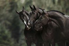 Here's an amazing picture of beautiful black horses #horses#horse#horselovers#horselove#lovinghorses#beautifulhorsepictures#horseriding#stunninghorses#beautifulhorses#loveforhorses#stallions#polopony#pony#whitehorses#equestrian#marwarihorse#marwari#thoroughbred#ponies#horsepictures#horsephotography#horsebackriding#LAPOLO Beautiful Horse Pictures, Most Beautiful Horses, Pretty Horses, Cool Pictures, Marwari Horses, Polo Horse, Black Horses, Horse Training, Horse Breeds
