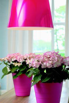 Insolita e ricercata questa ortensia bianca, con petali striati di rosa