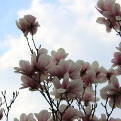 magnolia season