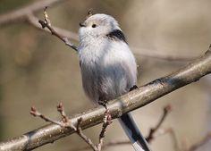 Categorie:Vogels (mus, valk, etc)      Nederlandse naam: witkoppige staartmees.     Wetensch. naam: Europaeus.