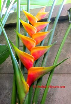 Solutions To Show That Pest Command Products And Services Are Useful For That Individuals Heliconia Jacquinii Tropical Landscaping, Landscaping Plants, Tropical Garden, Tropical Plants, Tropical Flowers, Unique Plants, Rare Plants, Exotic Flowers, Beautiful Flowers