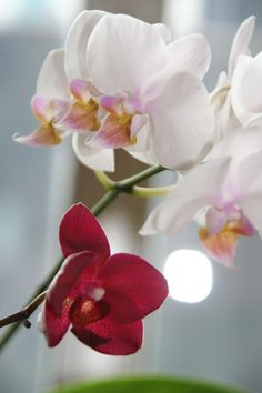 Orchids in red and white.
