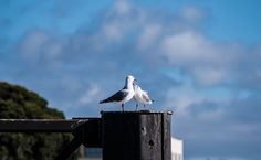 A photo of a family of seagulls standing on one of the supports of the East Devonport ferry dock. This photo was taken in East Devonport Tasmania.  #tasmania #tasmaniagram #discovertasmania#instatassie #expeditionoutdoors #SeeAustralia#discoveraustralia #earthpics #bestnatureshots#igpowerclub #igphotoworld #GlobalCapture#Exploringtheglobe #bestworldpics#phenomenalshot #AdventureTasmania #rapids #photooftheday #traveldiary#beautifulnature #explore #adventure #livelife#wow_australia2016…