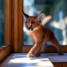 """The caracal is a medium sized cat which it spread in West Asia, South Asia, and Africa. The word Caracal is from Turkey """"Karakulak"""" which means """"Black Ears"""". Here is all about caracal as a pet. Baby Caracal, Caracal Kittens, Cute Kittens, Cats And Kittens, Kittens Cutest Baby, Big Cats, Cute Baby Animals, Animals And Pets, Funny Animals"""