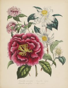HE LADIES' FLOWER-GARDEN OF ORNAMENTAL ANNUALS — THE LADIES' FLOWER-GARDEN OF ORNAMENTAL BULBOUS PLANTS — THE LADIES' FLOWER-GARDEN OF ORNAMENTAL GREENHOUSE PLANTS —THE LADIES' FLOWER-GARDEN OF ORNAMENTAL PERENNIALS — BRITISH WILDFLOWERS. LONDON: WILLIAM SMITH, 1840–1846