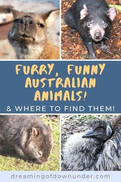 Discover 25 types of native Australian animals and where to see them! Includes kangaroos, emus, wombats, Tasmanian Devils and weird wildlife and marine life in Australia. #wildlife #kangaroo #animals #australia