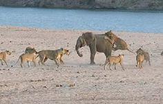 A CARA DE VITÓRIA: Flagrante: Em vídeo impressionante, elefante conse...