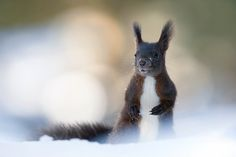 Squirrel by Stefano Ronchi - Photo 111751057 - 500px