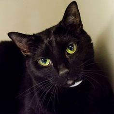 How did I not know this day existed?! I love black cats!!! Celebrate Black Cat Appreciation Day on August 17! | ASPCA