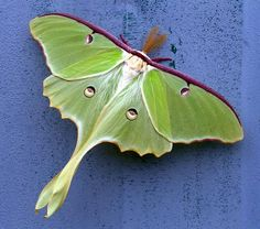 Every once in a while, when I was young, we would be lucky enough to find a beautiful Luna Moth in the Summer. One of nature's lovlies!