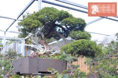 Juníperus Chinensis, un ejemplo de lo que encontrarás en Bonsái Colmenar