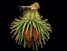 magnified seed