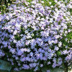 Phlox subulata Blue - 5 plants