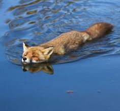 Swimming Red Fox by Angela Louwe