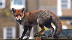 London's Urban Foxes: A Playful Menace