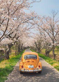 桜のトンネル   水戸市 理容室 ヘアーサロンカモシダ  シャンプーソムリエがいる床屋さん