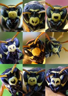 Portraits of nine Polistes dominulus paper wasps, illustrating the variation in facial patterns that functions as a signal of fighting ability by Elizabeth Tibbetts: Dominant wasps have more fragmented facial patterns than subordinate wasps - and the wasps use these patterns to quickly size up strangers before interacting.via ns.umich.edu. Thanks to @Ben Silbermann via J.H.Wang. #Wasps #Biology #Elizabeth_Tibbetts #ns_umich