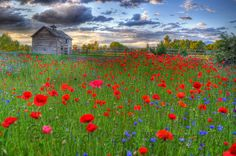 Patch of Poppies outside of Missoula, Montana. I love these flowers :) and this place is somewhere I am considering to live. Champs, Pretty Pictures, Cool Photos, Wonderful Places, Beautiful Places, Montana Landscape, Landscape Art, Montana Homes, El Dorado