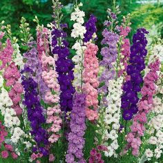 What are the secrets to the correct care of delphinium? Delphinium planting is normally at the back of the bed, where flower spikes can reach 2 to 6 feet tall. Shorter varieties are useful in other areas of the garden. Delphinium Flowers, Flowers Perennials, Planting Flowers, Delphiniums, Gladiolus, Flowering Plants, Bonsai, Raised Flower Beds, Landscaping With Rocks