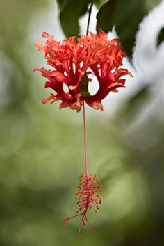Hibiscus schizopetalus Botany Photo of the Day Hibiscus Schizopetalus, Plant Pictures, Garden Trees, Blossom Flower, Horticulture, Botany, Planting Flowers, Beautiful Flowers, Flora