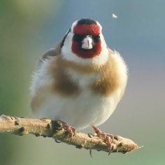 Stieglitz - Distelfink - Goldfinch