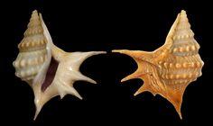 Aporrhais senegalensis ; Baia Farta, ANGOLA ; Coll. Wieneke .http://www.stromboidea.de/?n=People.UlrichWieneke