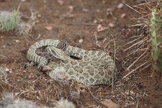 Treating a Rattlesnake Bite - http://sunnyscope.com/treating-rattlesnake-bite/