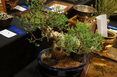 https://flic.kr/p/MivCEX | Bursera microphylla - CSSA 2014.JPG
