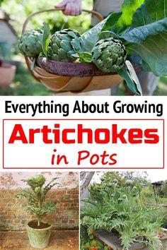 Container Plants, Container Gardening, Gardening Tips, Home Vegetable Garden, Fruit Garden, Growing Greens, Growing Plants, Growing Artichokes, Artichoke Plants