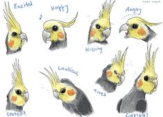 Cockatiel behaviors