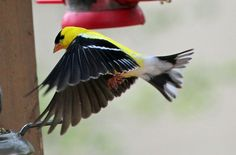 Goldfinch - coming in to find a perch